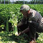 Celery Giant Pascal Seeds