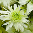 Clematis Peppermint ('Evipo005') (PBR) (clematis (group 3))