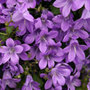 Dalmatian Bellflower