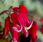 Dicentra 'Burning Hearts' (bleeding heart)