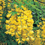 scotch laburnum