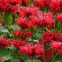 Monarda 'Gardenview Scarlet' (bergamot)