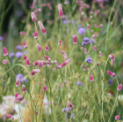 Sanguisorba tenuifolia 'Pink Elephant' (oriental burnet)