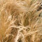 Stipa tenuissima (Mexican feather grass)