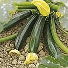 Courgette F1 El Greco Seeds