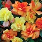 Spring Plants - Begonia Apricot Shades
