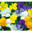 Pansy Friolina Mixed