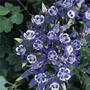 Aquilegia Winky Blue And White - 5 Plants