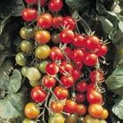 Tomato Tomazing