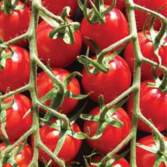 Tomato Tomarvellous