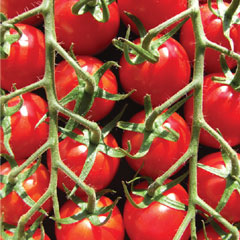 Supersweet Tomato Collection - 10 Plug Plants