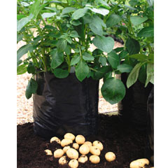 Charlotte Potatoes - 10 Seed Potatoes + 3 FREE 36 Litre Growbags