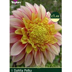 Dahlia Polka - 1 Bulb