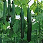 Cucumber F1 Bella (All Female) Seeds