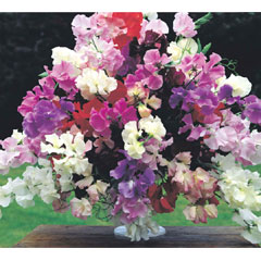 Sweet Pea Floral Tribute