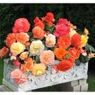 Spring Plants-Begonia Aromantics