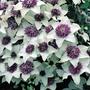 Autumn Plants - Clematis Florida Sieboldii