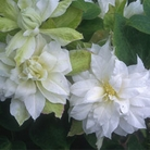Clematis - Duchess of Edinburgh And Miss Bateman