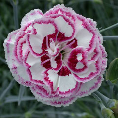 Pinks Super-Scented - 10 Mixed Plug Plants