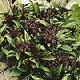 Herb Seed - Basil Siam Queen