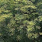 Herb Seeds - Common Fennel