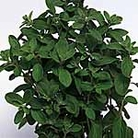 Herb Seed - Marjoram Sweet