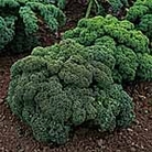 Kale Dwarf Green Curled Seeds
