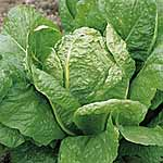Lettuce Lobjoits Green Seeds