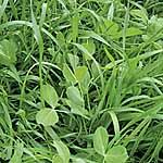 Green Manure Mix Seeds