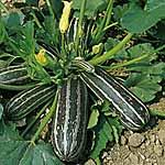 Marrow Long Green Bush 3 - Smallpak Seeds