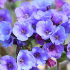 Pulmonaria 'Blue Ensign' (lungwort)