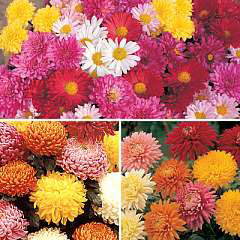 Spring Plants - Chrysanthemum Bumper Pack