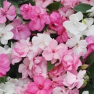 Impatiens Fanciful F1 Sweetheart