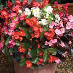 Spring Plants - Begonia Organdy