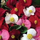 Begonia Lotto