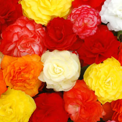 Spring Plants - Begonia Non Stop Mocca