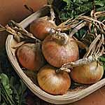 Onion Senshyu Semi-Globe Yellow Seed