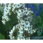 Bergenia &#x27;Bressingham White&#x27;