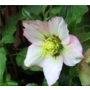 Helleborus x hybridus (orientalis)