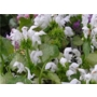 Lamium maculatum &#x27;White Nancy&#x27;
