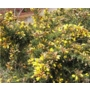 Ulex europaeus 'Gorse'