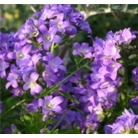 Campanula lac. 'Prichards Variety'