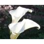 Zantedeschia aethiopica Crowborough