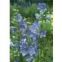 Campanula persicifolia 'Telham Beauty'