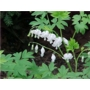 Dicentra spectabilis Alba &#x27;Bleeding Heart&#x27;