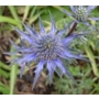 Eryngium bourgatii  'Sea Holly'