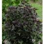 Eupatorium rugosum 'Chocolate'