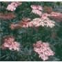 Sambucus nigra Black Lace 'Common Elder'