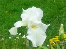 Iris 'Cliffs of Dover'