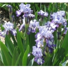 Iris 'Empress of India'